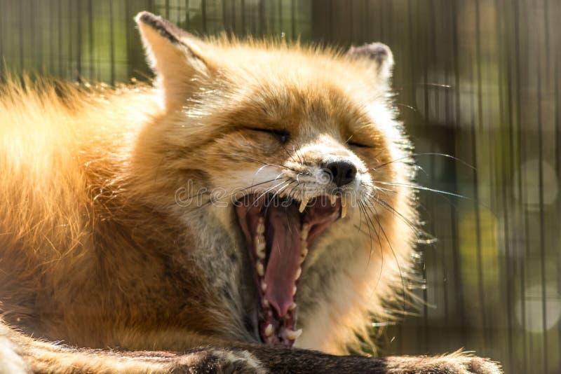 Fox rojo con bostezo dentudo grande en luz suave imagenes de archivo