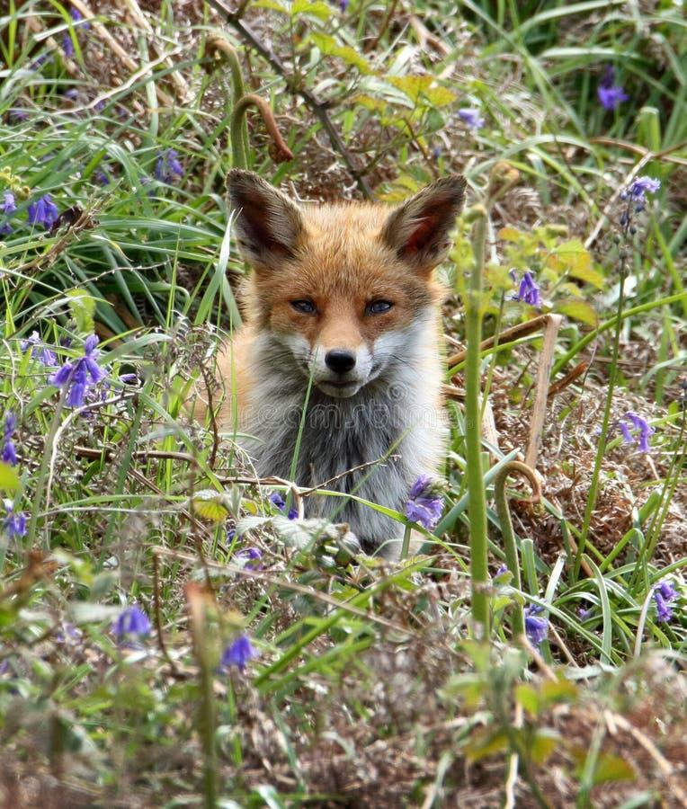 Fox rojo Cub en campanillas fotografía de archivo