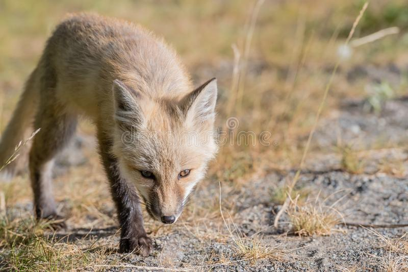 Fox rojo de la cascada en el vagabundeo fotos de archivo libres de regalías