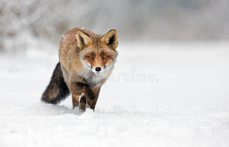 Fox rojo en la nieve imágenes de archivo libres de regalías