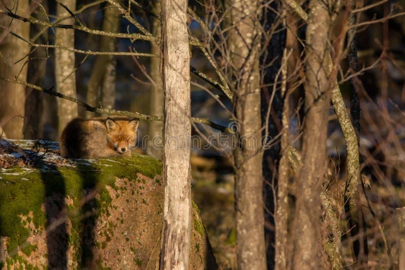 Fox rojo en una roca fotografía de archivo