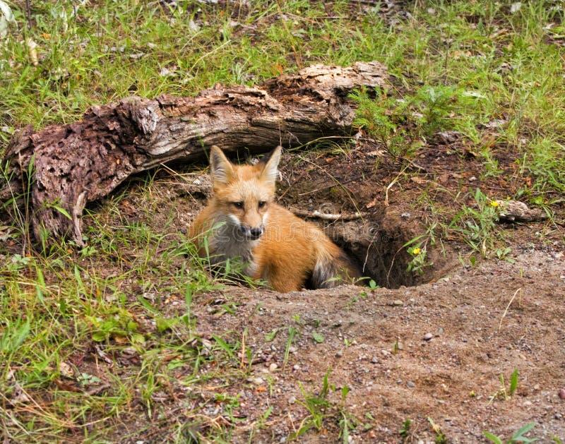 Fox rojo joven en guarida imagen de archivo