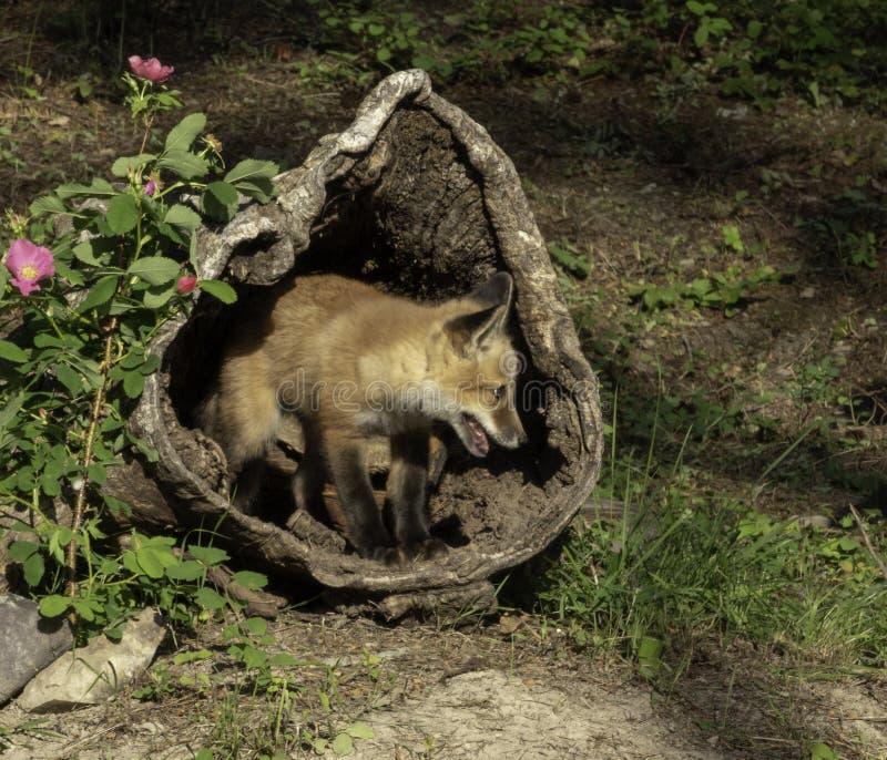 Fox rojo juvenil dentro de un registro ahuecado foto de archivo libre de regalías