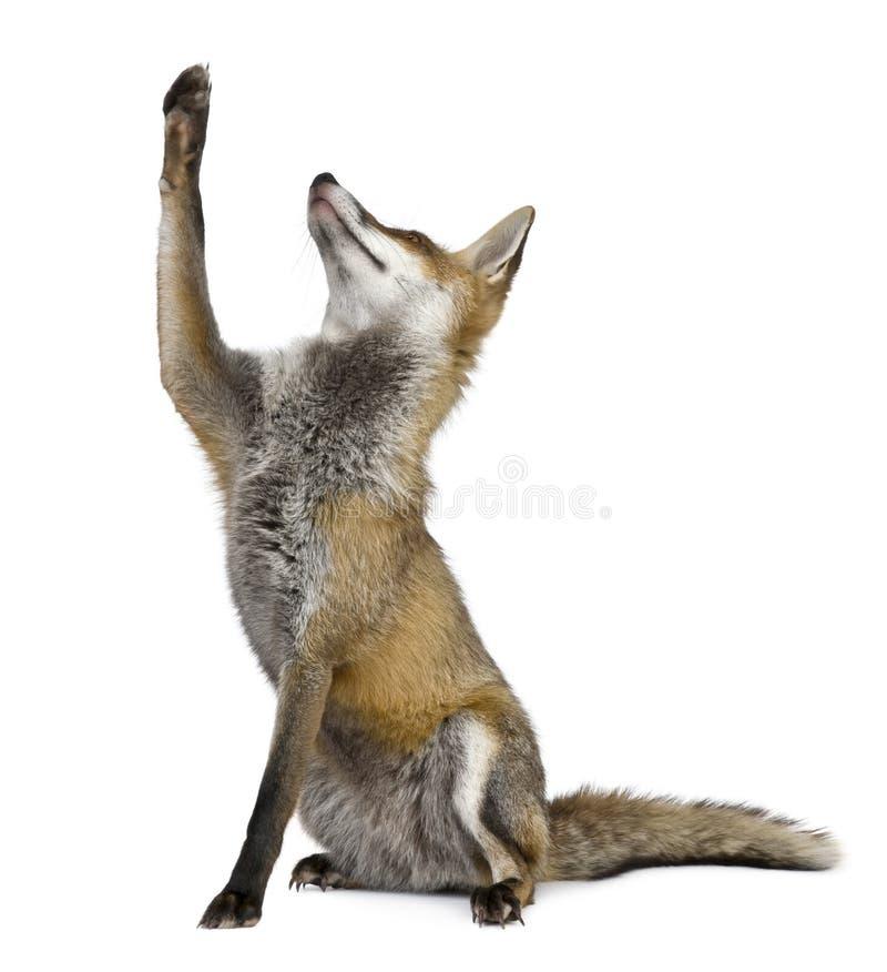 Fox rosso, 1 anno, sguardo di seduta in su fotografie stock libere da diritti