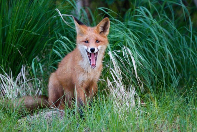 Fox rosso fotografia stock libera da diritti