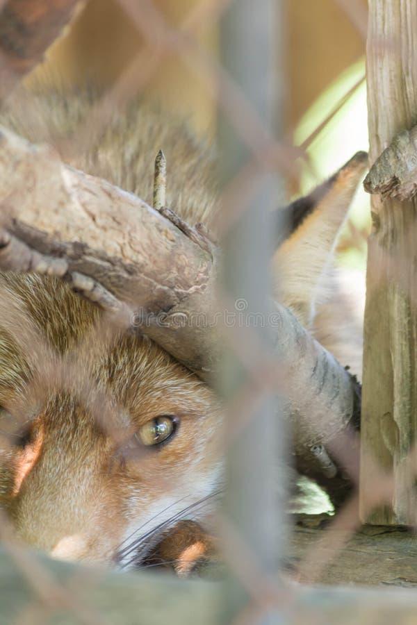 Download Fox rosso immagine stock. Immagine di creatura, predatore - 56893455