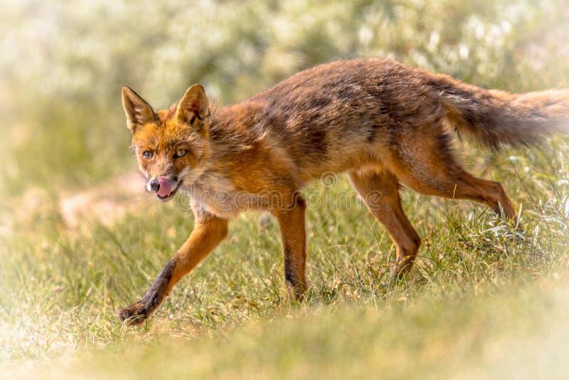 Fox rosso che cammina e che lecca immagini stock libere da diritti