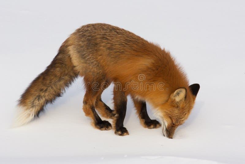 Fox rosso di inverno in Whitehorse, il Yukon, Canada fotografie stock libere da diritti
