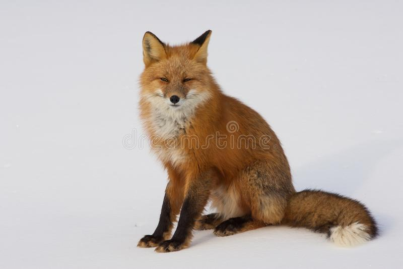 Fox rosso di inverno in Whitehorse, il Yukon, Canada immagine stock