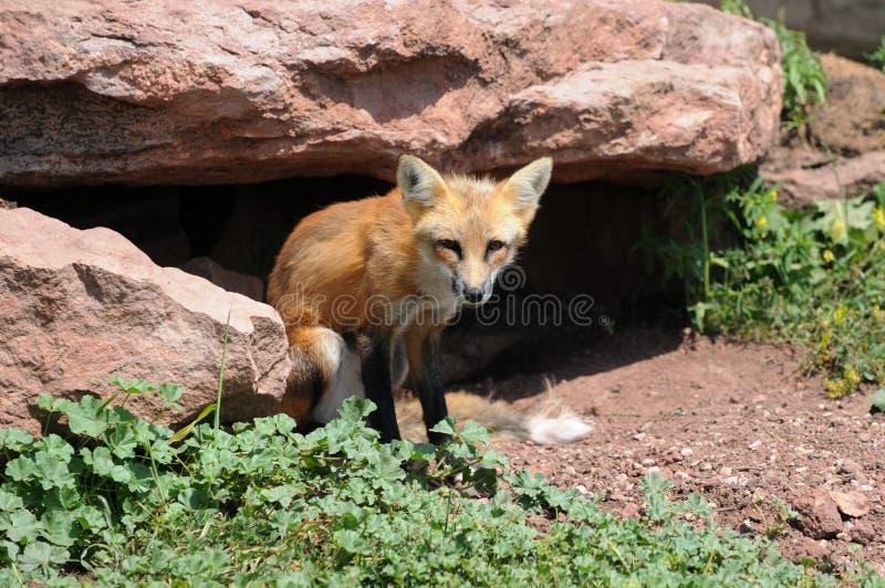 Fox rosso fuori della tana fotografia stock