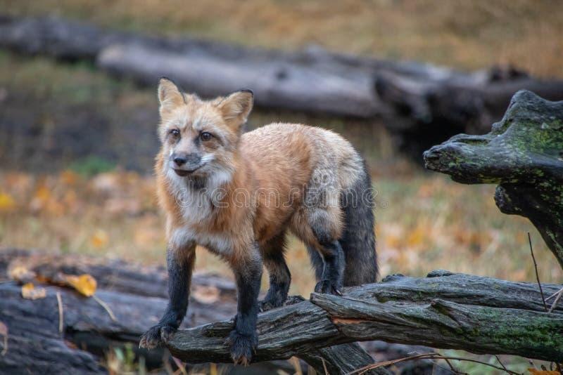 Fox rosso su un ceppo muscoso fotografie stock