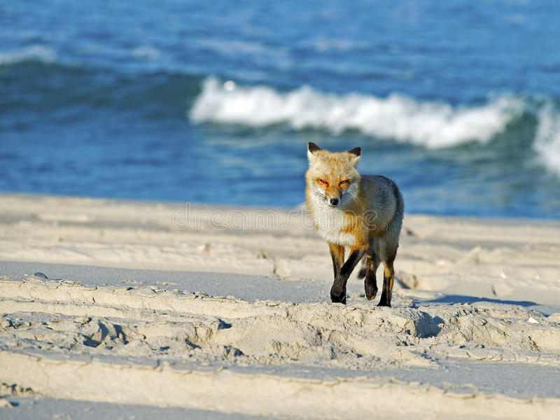 Fox rosso sulla spiaggia fotografie stock