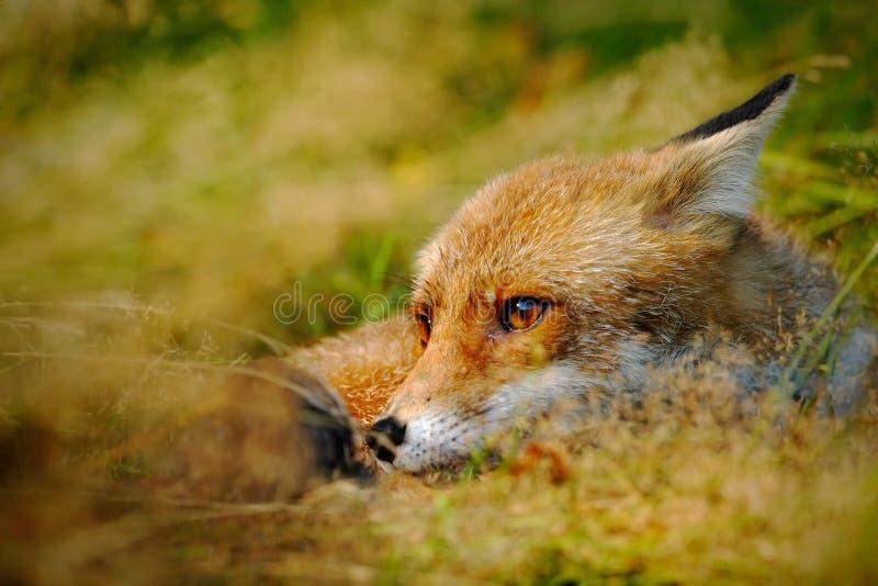 Fox rosso sveglio, vulpes di vulpes, animale alla foresta verde con le pietre, nell'habitat della natura, ritratto capo del detta immagine stock libera da diritti