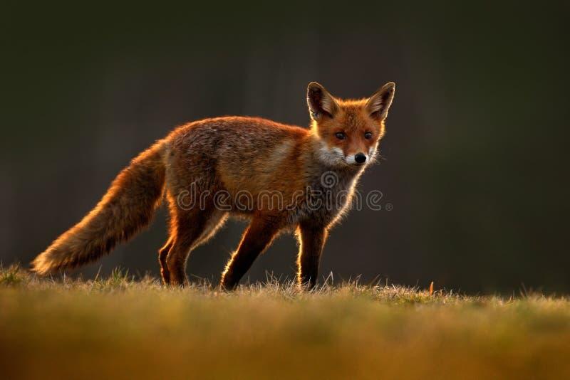 Fox rosso, vulpes di vulpes, bello animale alla foresta verde con i fiori, nell'habitat della natura, uguagliante sole con luce p fotografie stock libere da diritti