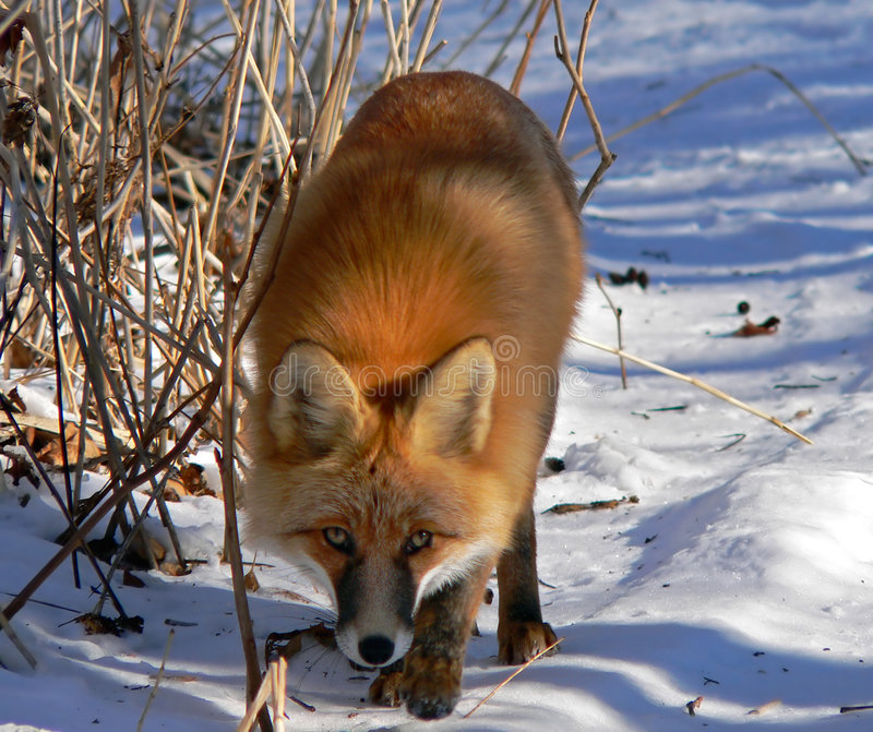 Fox rouge 12 photos libres de droits