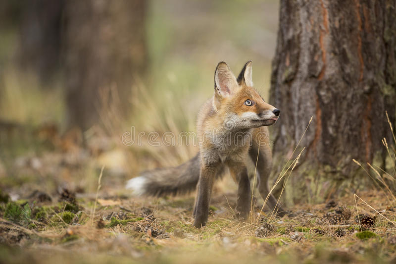 Download Fox rouge photo stock. Image du sauvage, bois, animal - 45368734