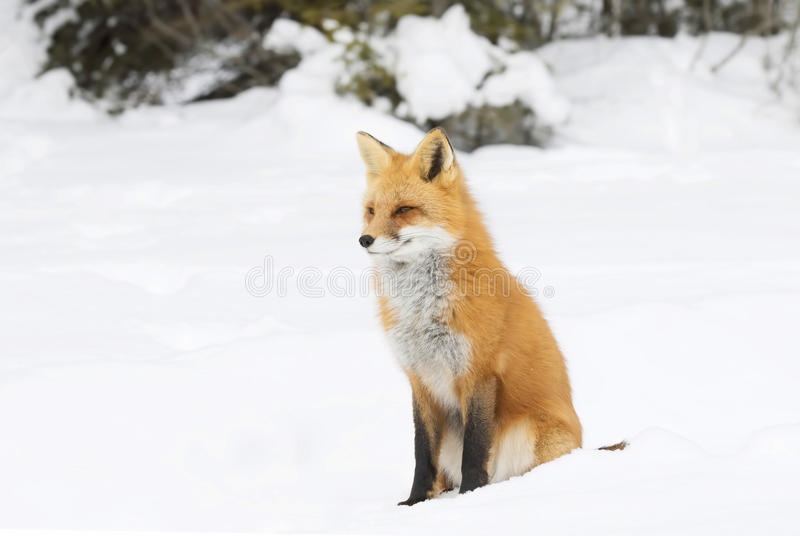 Fox rouge photographie stock libre de droits