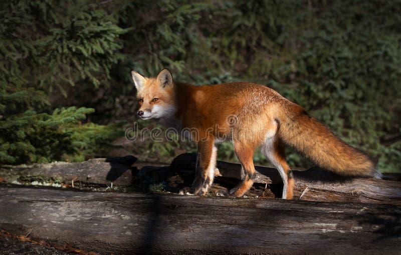 Fox rouge photos stock