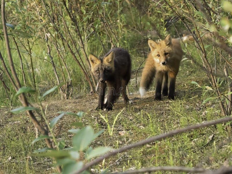 Fox rouge curieux et kits croisés de Fox image stock