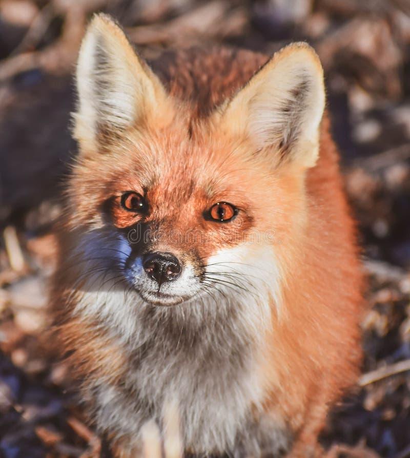 Fox rouge curieux - Vulpes images libres de droits