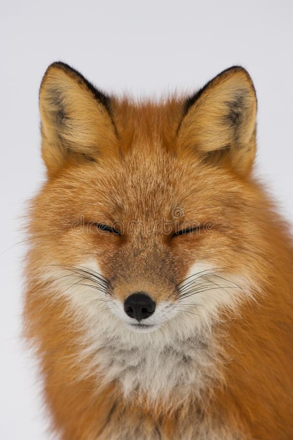 Fox rouge d'hiver dans Whitehorse, le Yukon, Canada photographie stock