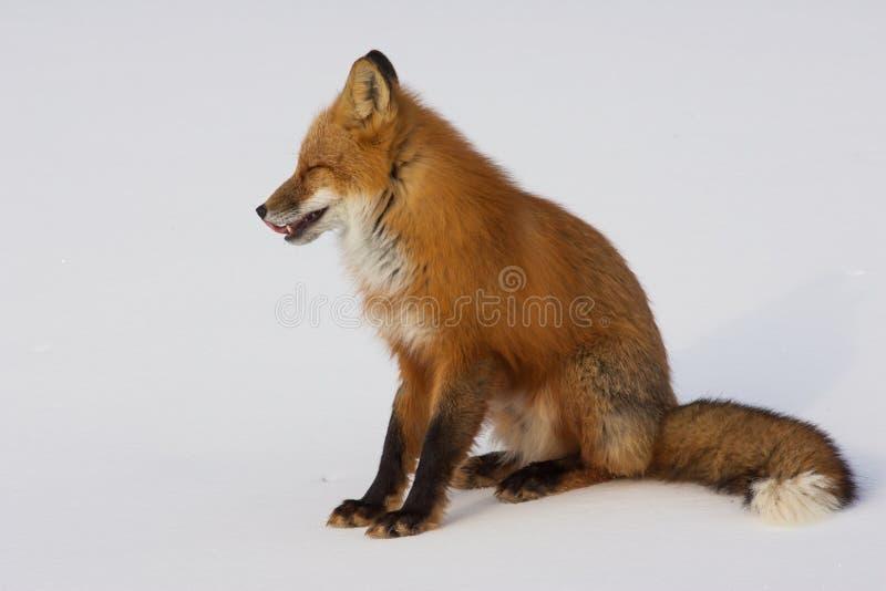 Fox rouge d'hiver dans Whitehorse, le Yukon, Canada photo libre de droits