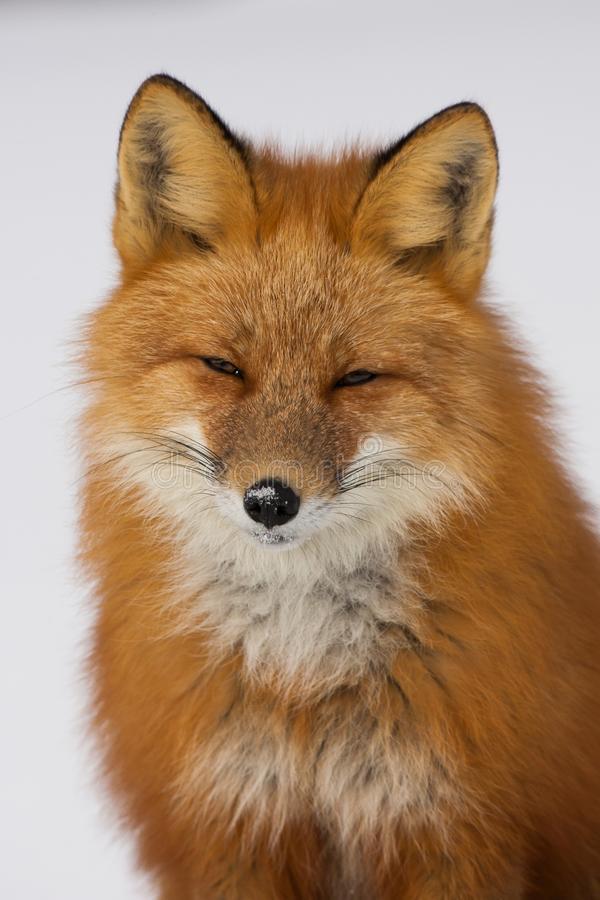 Fox rouge d'hiver dans Whitehorse, le Yukon, Canada image stock