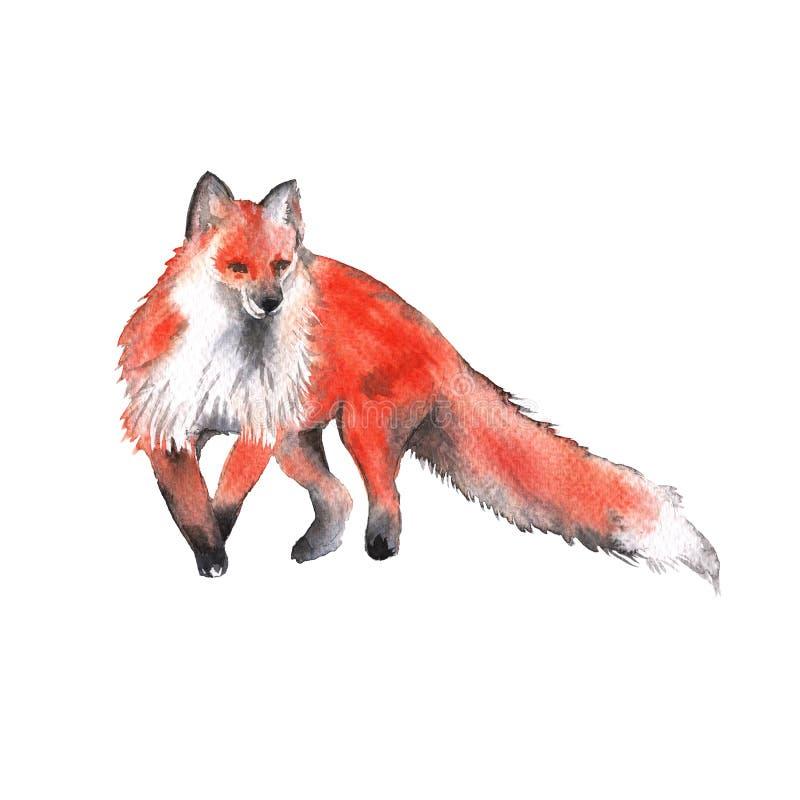 Fox rouge D'isolement sur un fond blanc Illustration d'aquarelle illustration stock