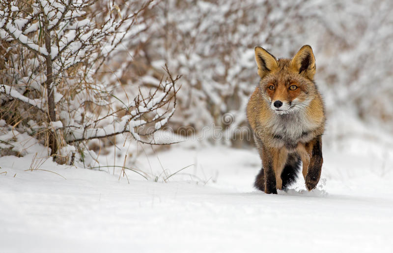 Fox rouge dans la neige photos stock