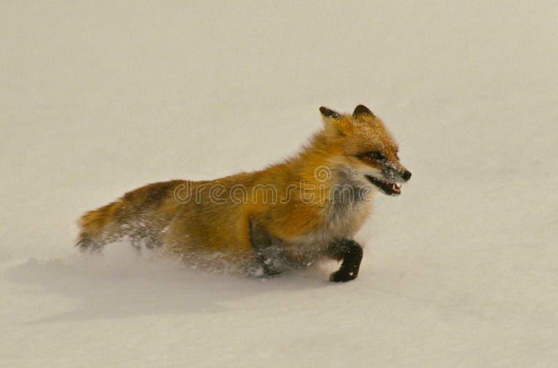 Fox rouge fonctionnant dans la neige photos libres de droits