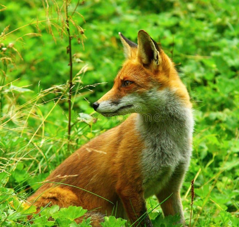 Fox rouge se tenant dans l'herbe photo stock