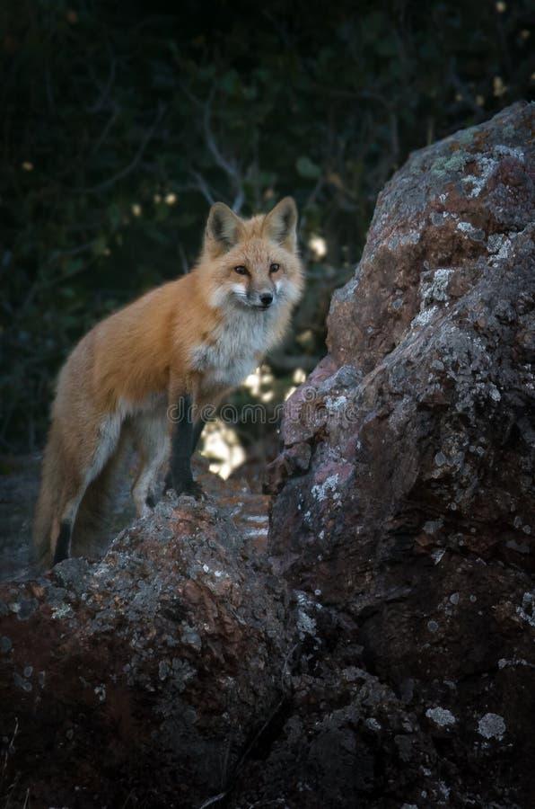 Fox rouge se tenant sur Boulder recherchant des signes de proie image stock