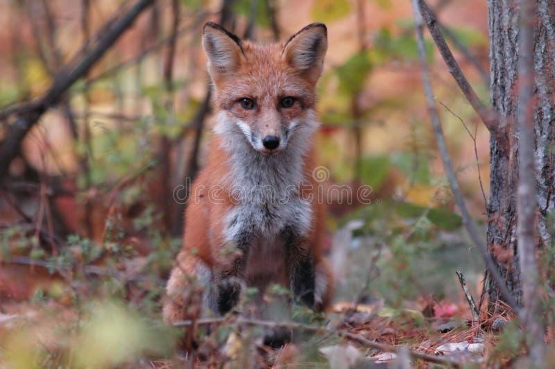 Fox rouge, Vulpes de Vulpes image libre de droits