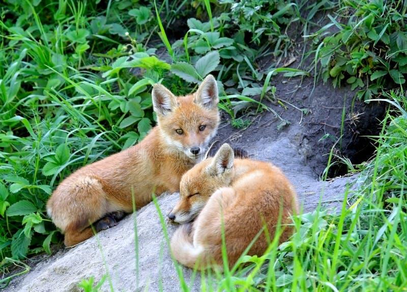 Fox rouge (vulpes de Vulpes) photo libre de droits