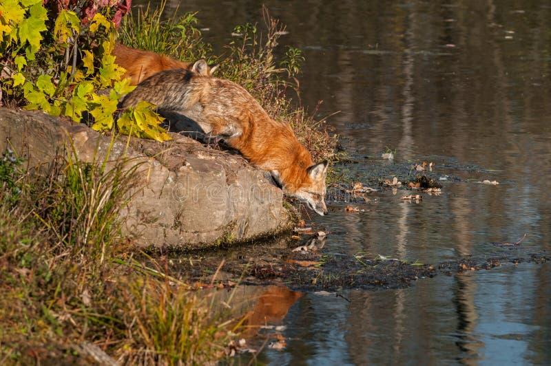 Fox rouge (vulpes de Vulpes) se plie vers le bas pour arroser photo libre de droits