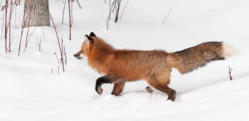 Fox rouge (vulpes de Vulpes) trotte à gauche avec la queue  photo stock