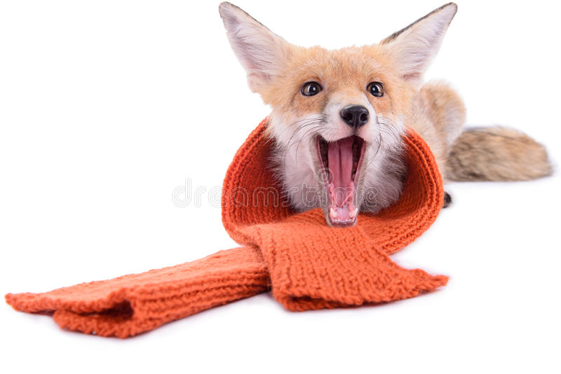 Fox with scarf. Red fox with a scarf. New Year or Christmas. animal isolated on white background royalty free stock photo