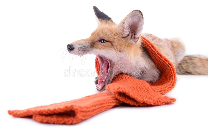 Fox with scarf. Red fox with a scarf. New Year or Christmas. animal isolated on white background stock photos