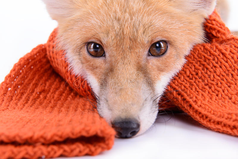 Fox with scarf. Red fox with a scarf. New Year or Christmas. animal isolated on white background royalty free stock photography