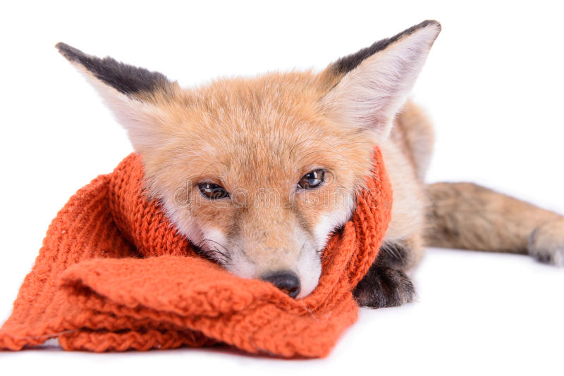 Fox with scarf. Red fox with a scarf. New Year or Christmas. animal isolated on white background royalty free stock image