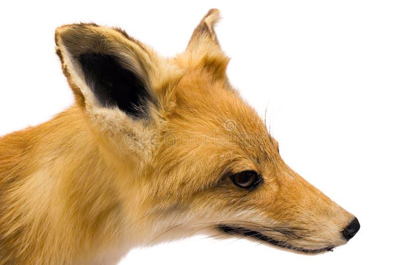 Fox (Seitenansicht) stockfotografie