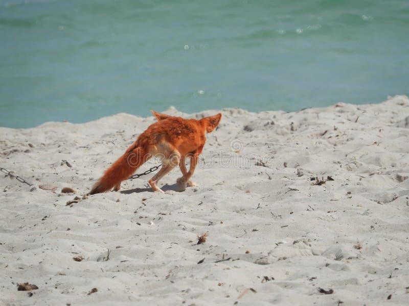 Fox selvagem na areia em Tunísia em um dia claro quente fotografia de stock royalty free