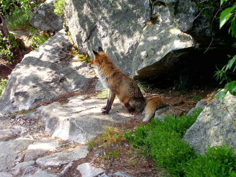 Fox selvaggio fotografia stock