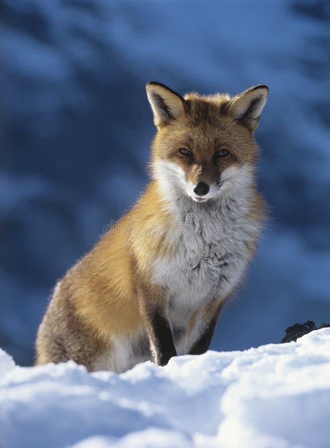 Fox siedzi w śniegu obraz royalty free