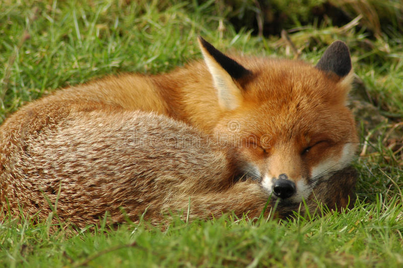 Download Red Fox sleeping stock photo. Image of wildlife, asleep - 32845656