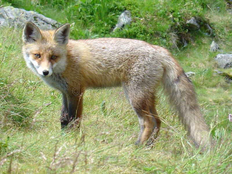Fox in Slovakia stock photos