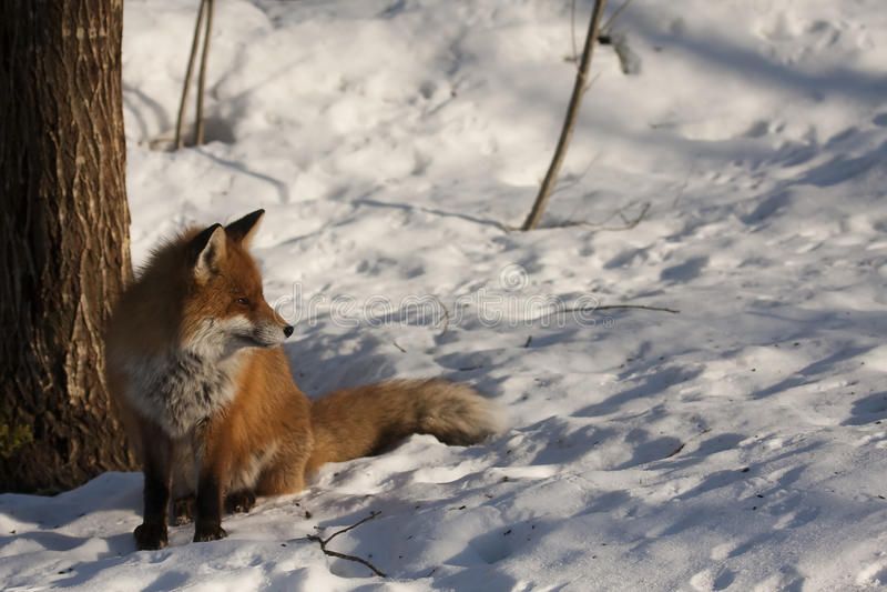 Fox in snow. A fox sitting in the sun in winter stock photo