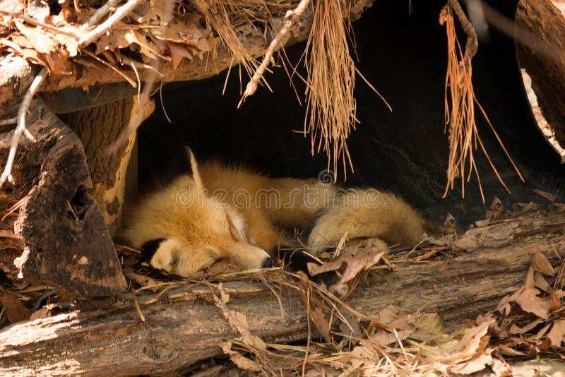 Fox sonolento fotografia de stock royalty free