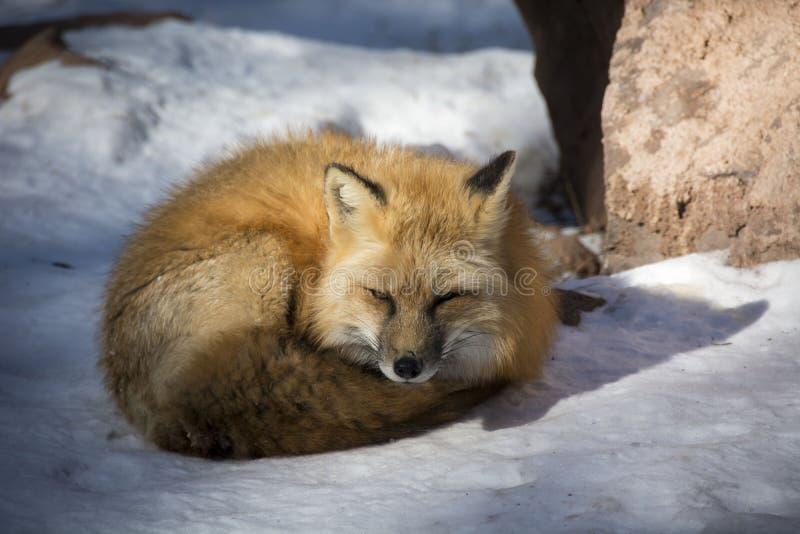 Fox sonolento fotografia de stock