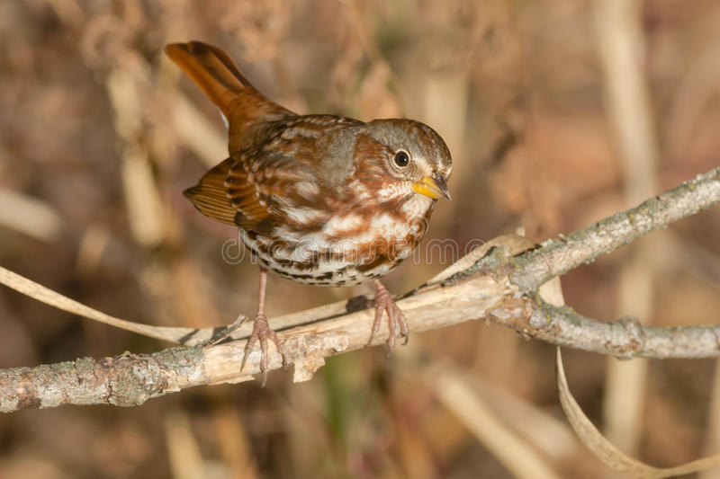 Fox Sparrow. Perched on a branch royalty free stock images